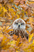 Red Kite (Milvus milvus) immature, perched among autumn leaves, Suffolk, England, November, controlled subject