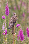 Common Kestrel (Falco tinnunculus) immature perched on post next to Common Foxglove (Digitalis purpuera) flowers, Suffolk, England, July, controlled subject