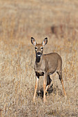 White-tailed Deer (Odocoileus virginianus) adult female standing in grassland, National Bison range, Montana, USA, October