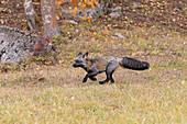 Red Fox (Vulpes vulpes) cross fox variation, adult running on grassland at base of rocky hillside, Montana, USA, October, controlled subject