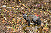 Red Fox (Vulpes vulpes) cross fox variation, adult standing on rock on woodland edge, Montana, USA, October, controlled subject