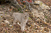 Canadian Lynx (Lynx canadensis) cub standing at entrance to den under fallen tree, Montana, USA, October, controlled subject