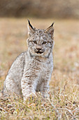 Canadian Lynx (Lynx canadensis) cub sitting on grassland, Montana, USA, October, controlled subject
