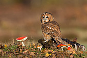 Tawny Owl (Strix aluco) adult perched on log with Fly Agaric (Amanita muscaria) fungi, Suffolk, England, November, controlled subject
