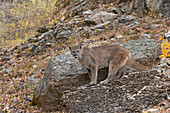 Puma (Felis concolor) adult standing on rock on mountain side, Montana, USA, October, controlled subject