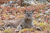 Puma (Felis concolor) adult resting, Montana, USA, October, controlled subject