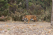 Siberian Tiger (Panthera tigris altaica) adult stalking prey on woodland edge, controlled subject
