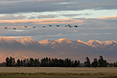 Sandhill Crane (Grus canadensis) flock flying with mountain backdrop, Kalispell, Montana, USA, October