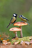 Blue Tit (Cyanistes caeruleus) adult and Great Tit (Parus major) adult male perched on Fly Agaric (Amanita muscaria) fungus, Suffolk, England, UK, October