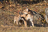 Puma (Felis concolor) adult and cub touching noses, Montana, USA, October, controlled subject