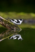 Collared Flycatcher (Ficedula albicollis) adult male summer plumage, standing on branch in water, drinking, with reflection, Debrecen, Hungary, May