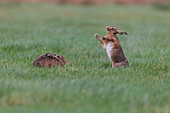 European Hare (Lepus europeaus) adult pair standing in grass field, male standing up to shake rain from body, Suffolk, England, March