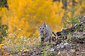 Bobcat (Lynx rufus) adult walking on mountain side with background of autumn colour, Montana, USA, Ocotber, controlled subject