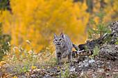 Erwachsener Rotluchs (Lynx rufus), am Berghang mit herbstlich gefärbtem Hintergrund, Montana, USA, Okotber, kontrolliertes Subjekt