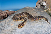 Puff adder Bitis arietans basking by the Atlantic ocean shore, Western Cape Province, South Africa