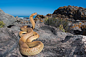 Cape cobra Naja nivea in threat display, Atlantic ocean shore, Western Cape Province, South Africa