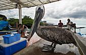 Galapagos Brown Pelican Pelecanus occidentalis urinator, Puerto Ayora fish market, Isla Santa Cruz, Galapagos archipelago, Ecuador