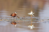 African Jacana - with water lily flowers\nActophilornis africanus\nGambia, West Africa\nBI025250