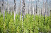Feuer beschädigte Bäume im Dunraven Pass, Yellowstone-Nationalpark, Wyoming, USA LA006775