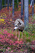 White-tailed Deer - stag in autumn woodland\nOdocoileus virginianus\nGrand Tetons National Park\nWyoming. USA\nMA002732\n