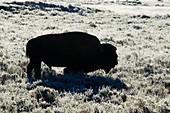 Amerikanischer Bison (Bison bison), Silhouette im Frost am frühen Morgen, Yellowstone-Nationalpark, Wyoming, USA MA002767