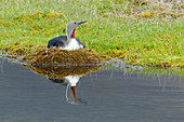 Red-throated Diver - on nest\nGavia stellata\nIceland\nBI025959