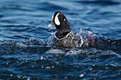 Harlequin Duck - male\nHistrionicus histrionicus\nIceland\nBI026274
