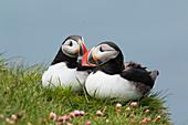 Atlantic Puffin - pair on cliff edge\nFratercula arctica\nLatrabjarg, Iceland\nBI026514