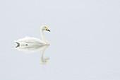 Whooper Swan - on lake\nCygnus cygnus\nLake Myvatn\nIceland\nBI028883\n