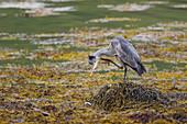 Grey Heron - preening in sea loch amongst seaweed\nArdea cinerea\nIsle of Mull\nScotland, UK\nBI027874