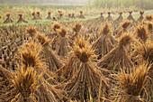 Reisstroh zum Trocknen gestapelt Guilin, Region Guangxi, China LA008190