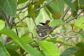 Satin Flycatcher - female on nest\nMyiagra cyanoleuca\nDaintree\nQueensland, Australia\nBI030130\n