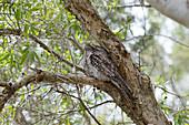 Tawny Frogmouth - at daytime roost\nPodargus strigoides\nBrisbane\nQueensland, Australia\nBI030139\n