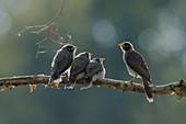 Noisy Miner - Parent feeding three fledglings backlit on branch\nManorina melanocephala\nGold Coast\nQueensland, Australia\nBI030555