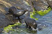 New Zealand Fur Seal - youngsters playfighting\nArctocephalus forsteri\nKangaroo Island\nSouth Australia, Australia\nMA003383