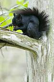 Eastern Grey Squirrel - black form\nSciurus carolinensis\nOntario, Canada\nMA003048\n