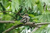 Lesser Nighthawk - roosting during the day\nChordeiles acutipennis\nGulf Coast of Texas, USA\nBI027189