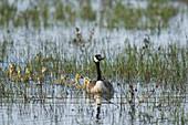 Canada Goose - parent and chicks\nBranta canadensis\nOntario, Canada\nBI027145\n