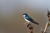 Tree Swallow - perched\nTachycineta bicolor\nOntario, Canada\nBI027289
