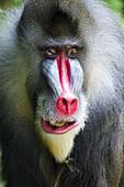 Mandrill - Dominant Male\nMandrillus sphinx\nSingapore Zoo\nMA003489\n