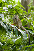 Squirrel Monkey\nSaimiri sciureus\nSingapore Zoo\nMA003497