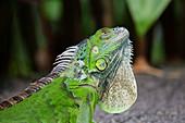 Green Iguana\nIguana iguana\nSingapore\nMA003500