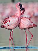 Lesser flamingo (Phoenicoparrus minor)pair in courtship dance in Gujurat, India