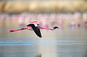 Lesser flamingo (Phoenicoparrus minor) in flight at Gujurat, India