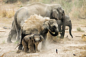 Asiatic elephant (Elephas maximus) young calf doing mudbath in  Corbett national park, India