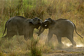 Asiatic elephant (Elephas maximus) tuskers fighting in Corbett national park, India