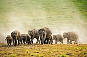 Asiatic elephant (Elephas maximus) herd in Corbett national park, India