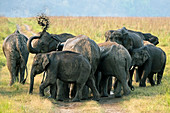 Asiatic elephant (Elephas maximus) herd inLandscape of  Corbett national park, India