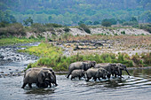 Asiatic elephant (Elephas maximus) herd in Ramganga river, Corbett national park, India