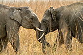 Asiatic elephant (Elephas maximus) Young Tuskers playing in Corbett national park, India